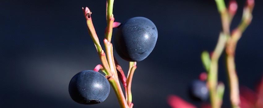 Podpořte svou imunitu s maqui berry