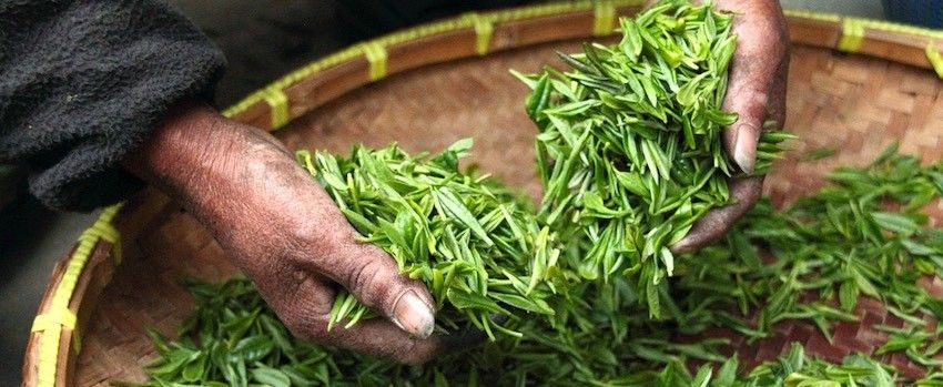 Jak poznat kvalitní zelený čaj?