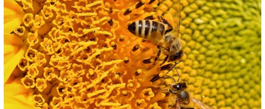 Včelí pyl a jeho využití