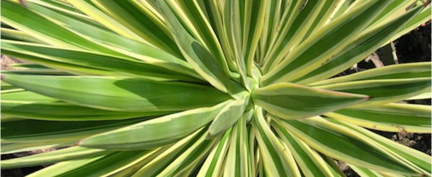 Yucca a její využití nejen v kosmetice